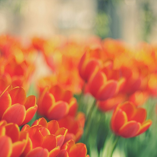 tulpen_oranje